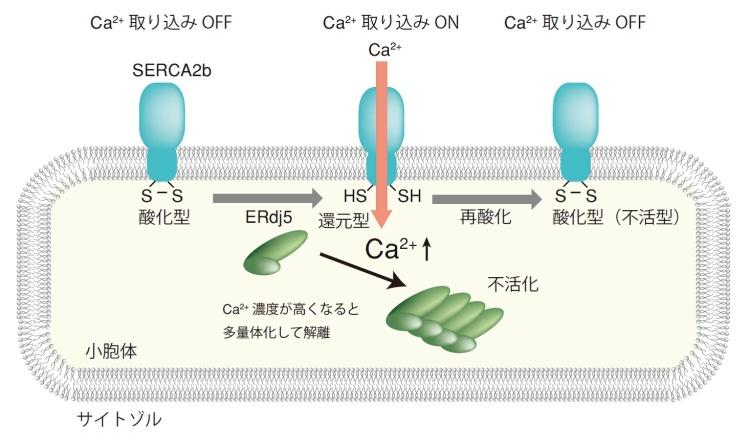 総合生命科学部 永田和宏教授と潮田亮研究助教らのグループが、ジスルフィド還元酵素ERdj5がSERCA2bのジスルフィド結合を還元することを解明
